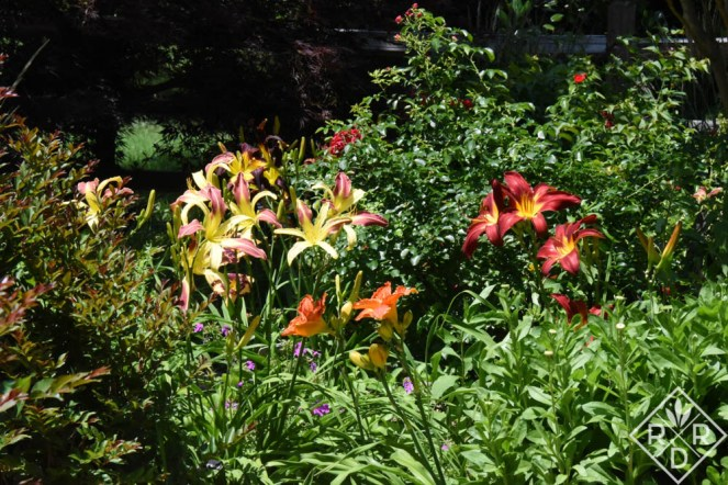 Back garden with H. 'Radiation Biohazard,' 'Guadalajara' and 'Red Headed Hussy.' They make a pretty trio.