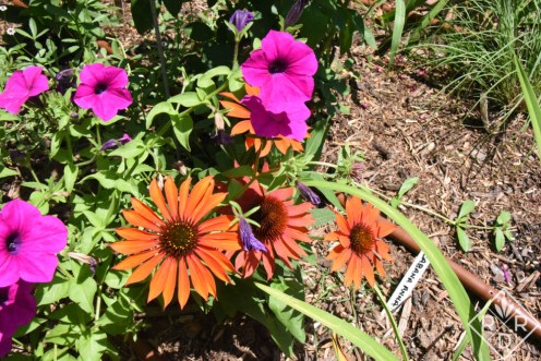 Sombrero Sangrita trial plant echinacea with 'Laura Bush' petunias. I'll let you know how they do as the season progresses.