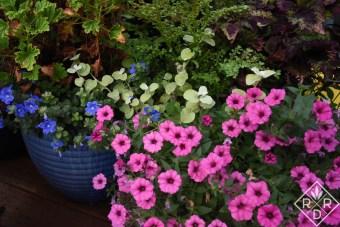 Closeup of Supertunia Hot Pink Charm, Blue My Mind Evolvulus, Helichrysum petiolare Lemon Licorice and Attar of Rose scented geranium_