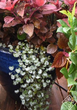 Dichondra argentea 'Silver Falls' is also a good choice for a hot-weather container.