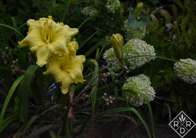 Hemerocallis Buddy's Jane with Hydrangea paniculata Little Lime®