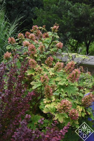 Hydrangea quercifolia Ruby Slippers and Orange Rocket barberry.