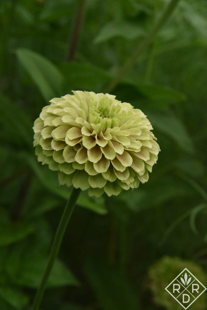 Queen Lime with Blush zinnia in the cutting garden this year. It's a beauty. Bloom Day