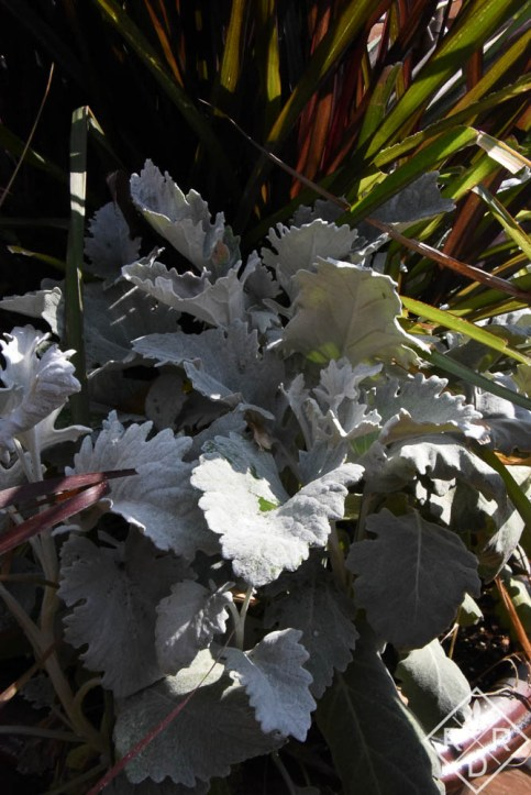 Senecio cineraria 'New Look,' broad leaf dusty miller in front of P. purpureum 'Princess Caroline.'