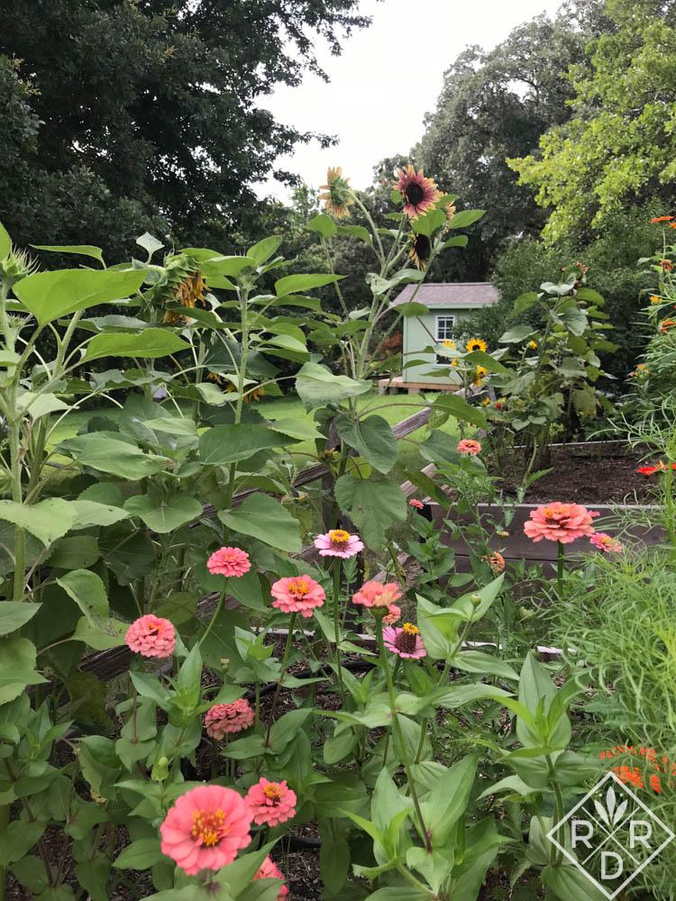 Zinnias and sunflowers in the cutting garden. Garden triage
