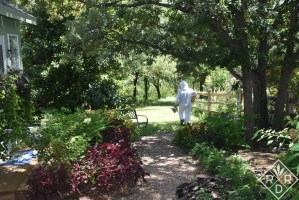Walking down to the hive past my little green she shed. The hive is located beyond the southern magnolia tree I planted over twenty years ago.