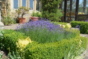 Lavender in formal planting beds outside the greenhouse.
