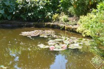 Lilies in the pond at Low Hall.