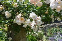 Roses on the arbor-allée at Low Hall.