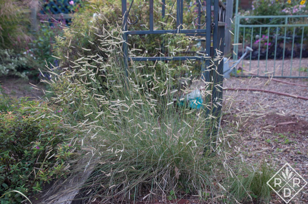 Bouteloua gracilis Blonde Ambition blue grama grass. I grow it in pure gravel, and only water it occasionally in summer.