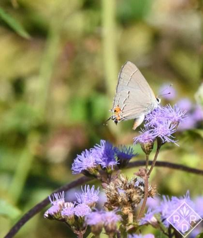 Gray Hairstreak butterfly on wild ageratum.