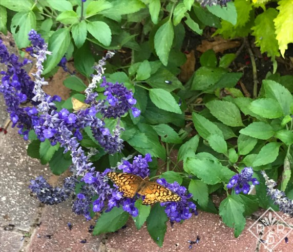 Variegated Fritillary on Salvia 'Mystic Spires Blue'_