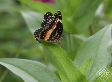 Bordered Patch butterfly, Chlosyne lacinia