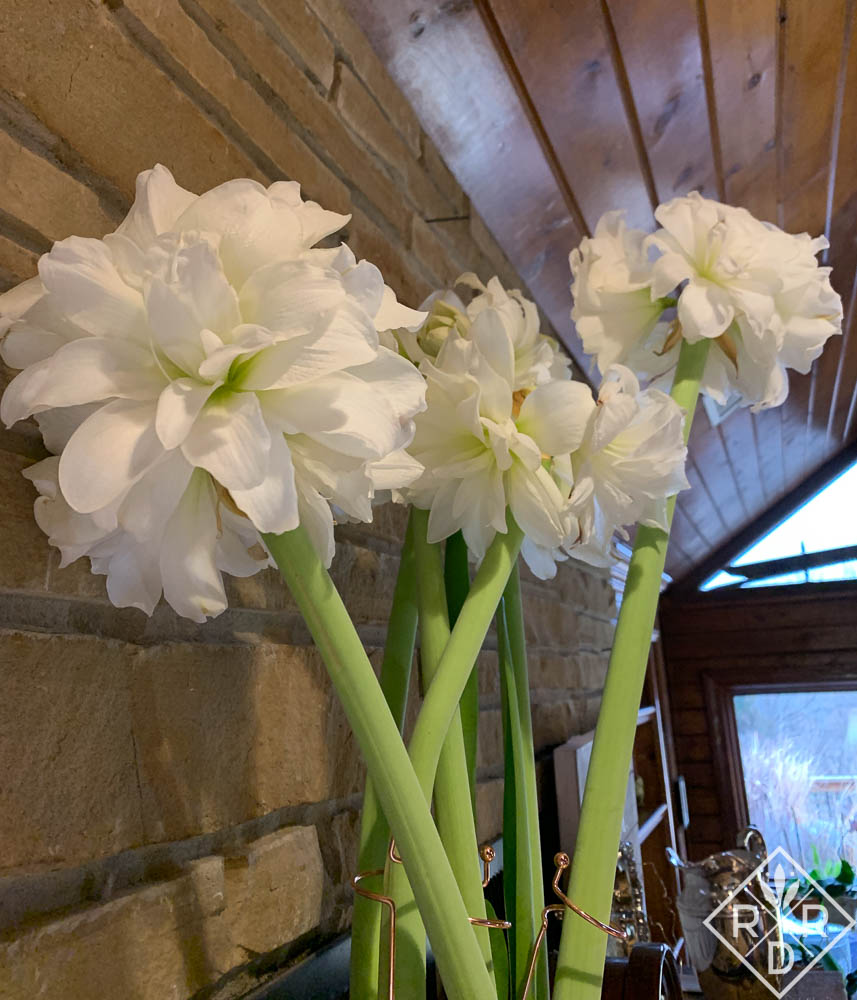 Hippeastrum 'Marquis' double amaryllis makes quite a statement blooming on the mantel.