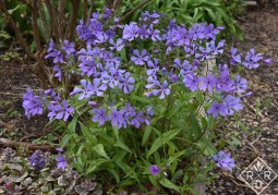 Phlox divaricata given to me by Wanda Faller years ago.