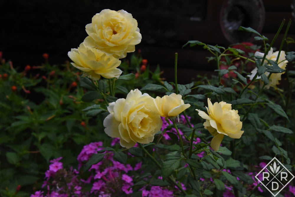 <em>Rosa</em> 'The Poet's Wife' has no blackspot in my dream garden. She always looks just like this.