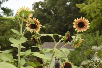Sunflowers_