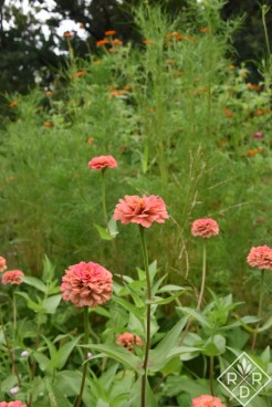 Zinnias with cosmos foliage behind