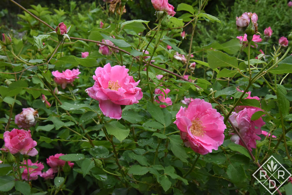 'Carefree Beauty,' a Dr. Griffith Buck rose, has grown in my garden for years.