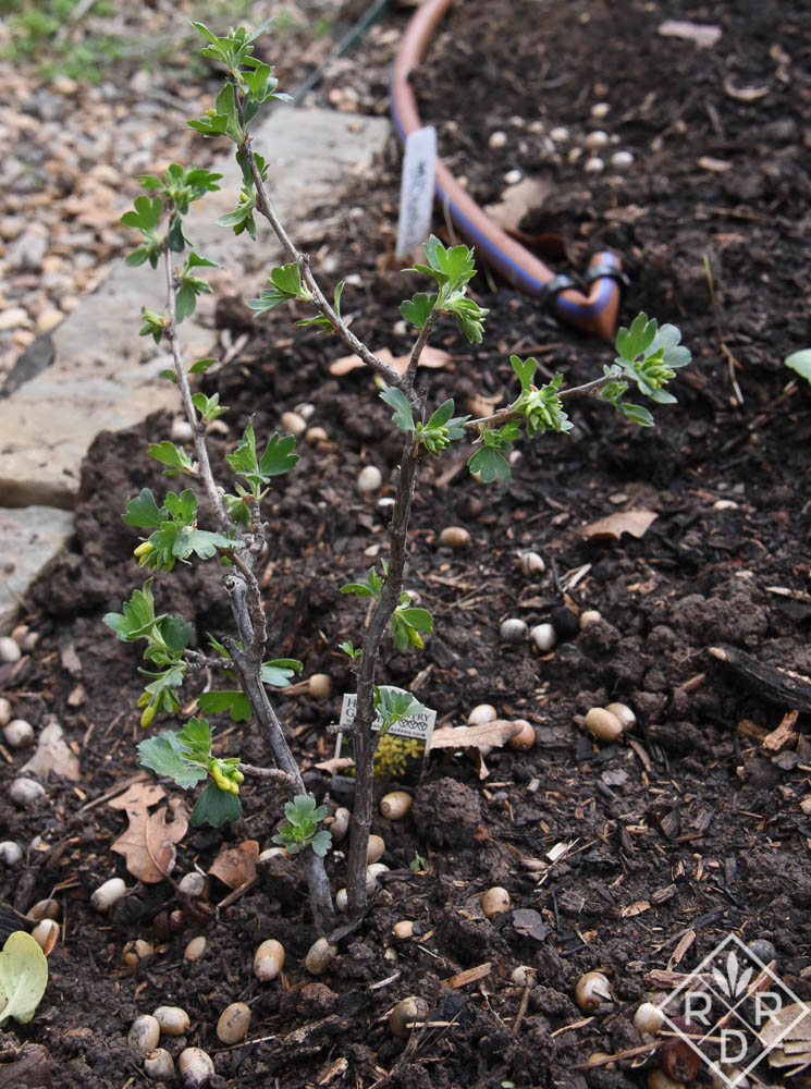 I'm quite proud of my two tiny clove currant shrubs. I know they'll grow and provide the garden with wonderful fragrance. Also, they are native to Oklahoma.