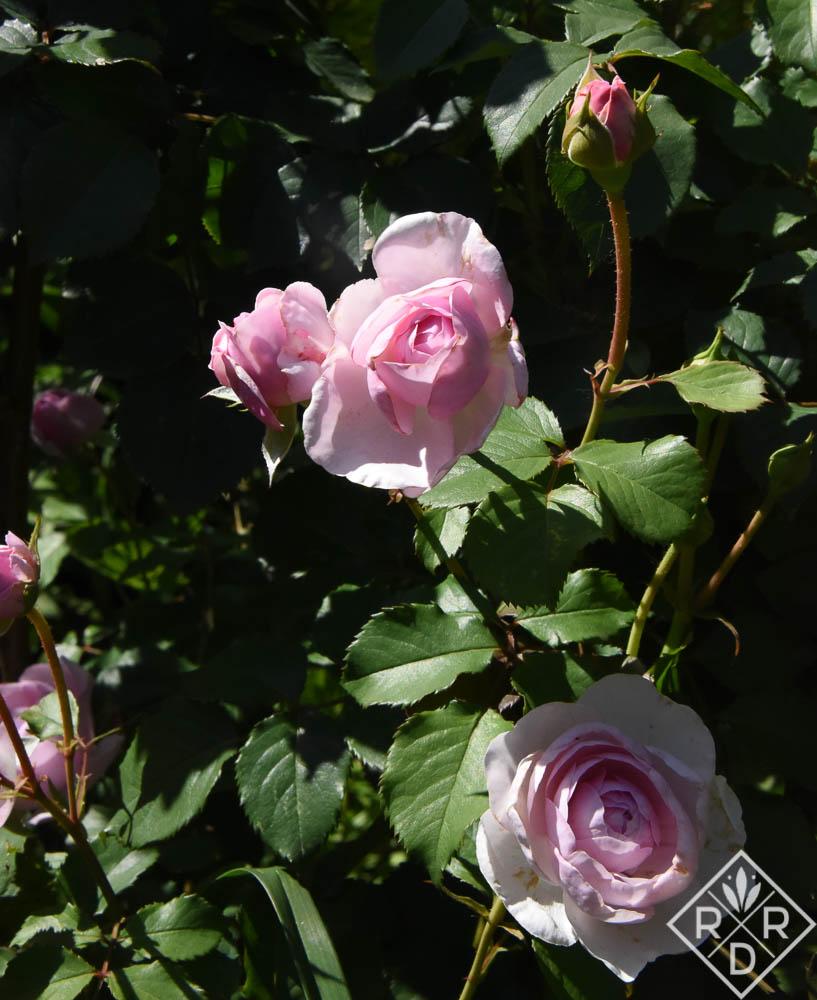 Rosa-Olivia-Rose-Austin-1-of-1