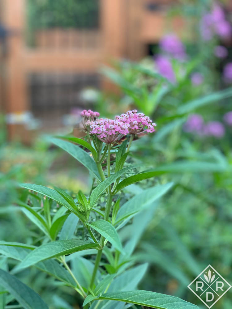 Swamp milkweed, Asclepias incarnata_
