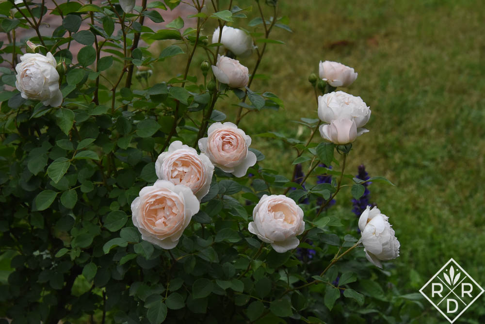 Rosa-Desdemona-English-Shrub-Rose