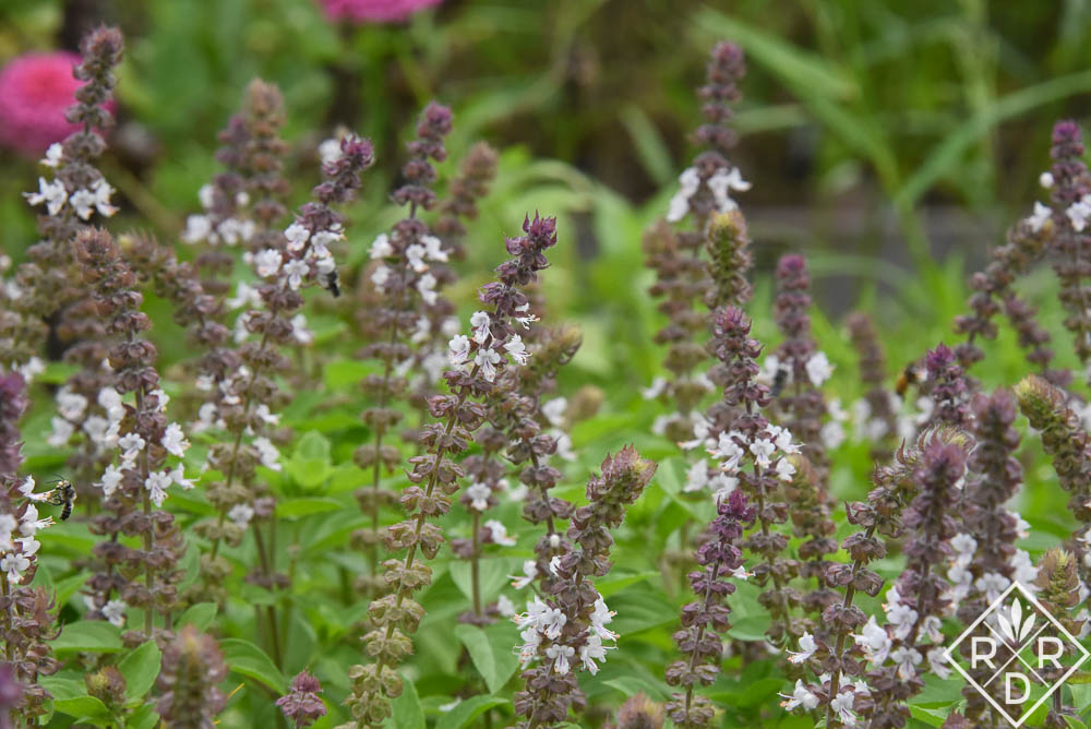 African blue basil for Garden Bloggers' Bloom Day