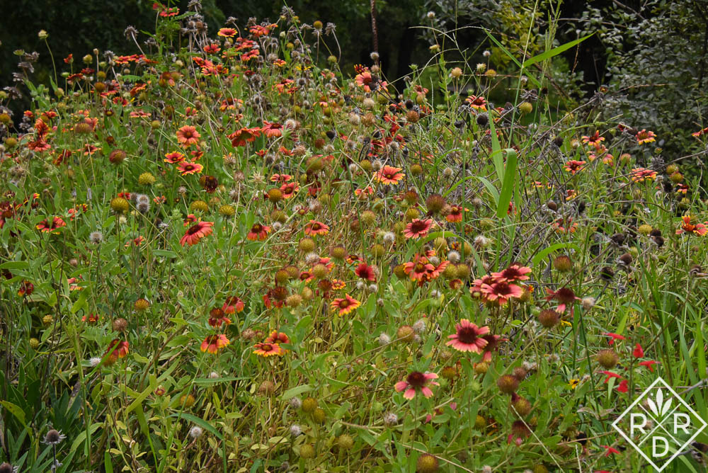 Meadow flowers make great plants for pollinatos. Gaillardia quickly going to seed.