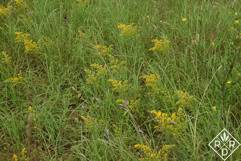 Goldenrod, Solidago spp., is just starting to color up in the upper meadow. I hope all of the pollinators find it. It is a great source of pollen for them.