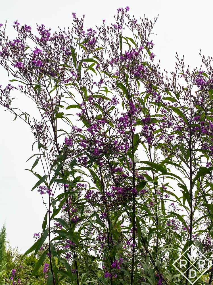 Narrowleaf ironweed, 'Iron Butterfly' (I think) at TBG.