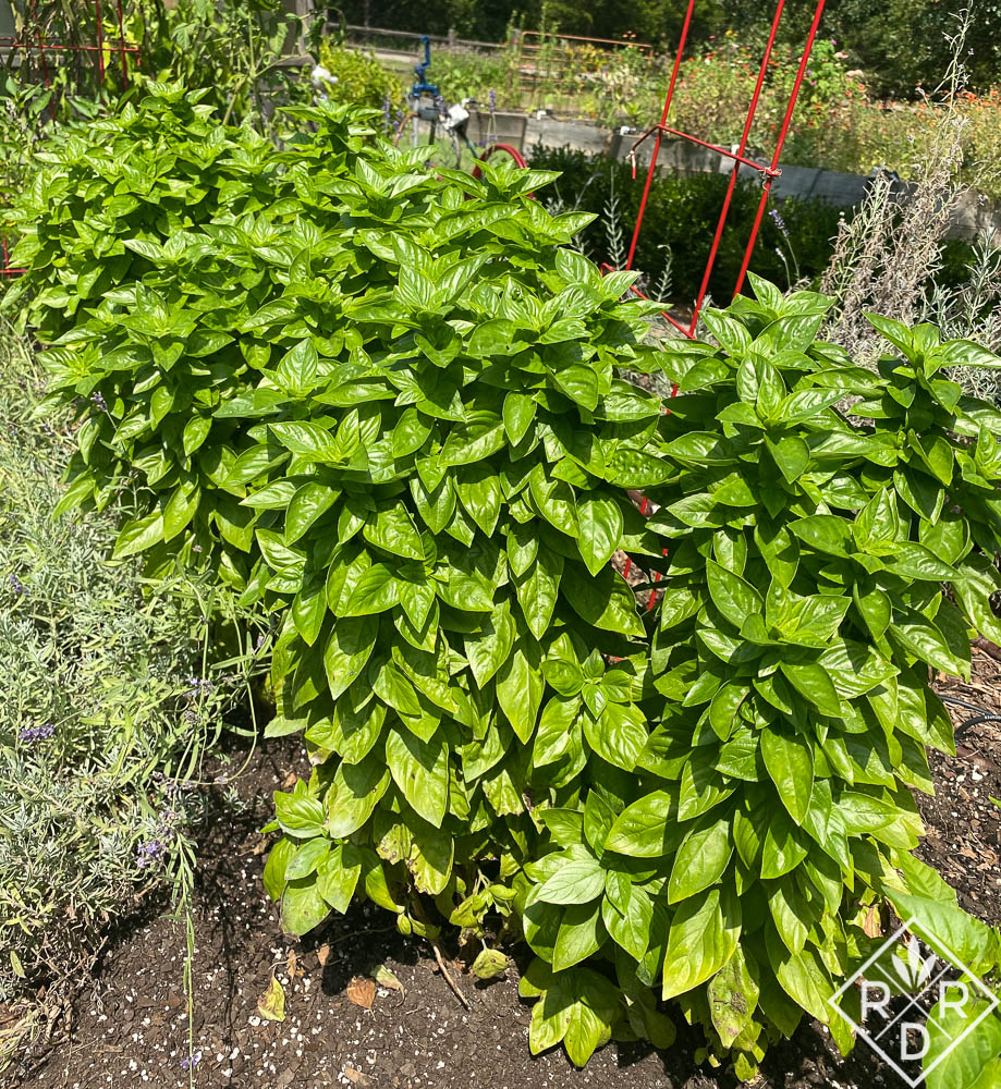 Everleaf-Emerald-Towers-basil growing in Dee Nash's garden