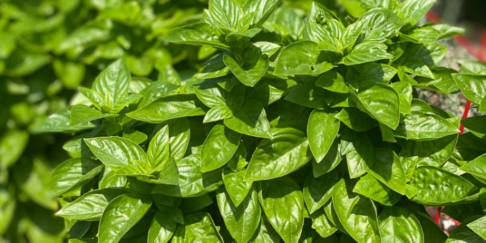 Closeup of Everleaf Emerald Towers basil in Dee Nash's garden