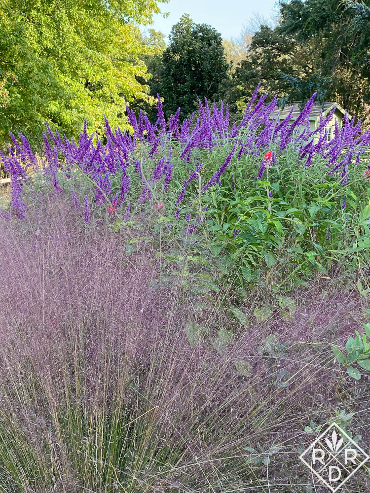 Pink muhly and Mexican bush sage only a few days ago.