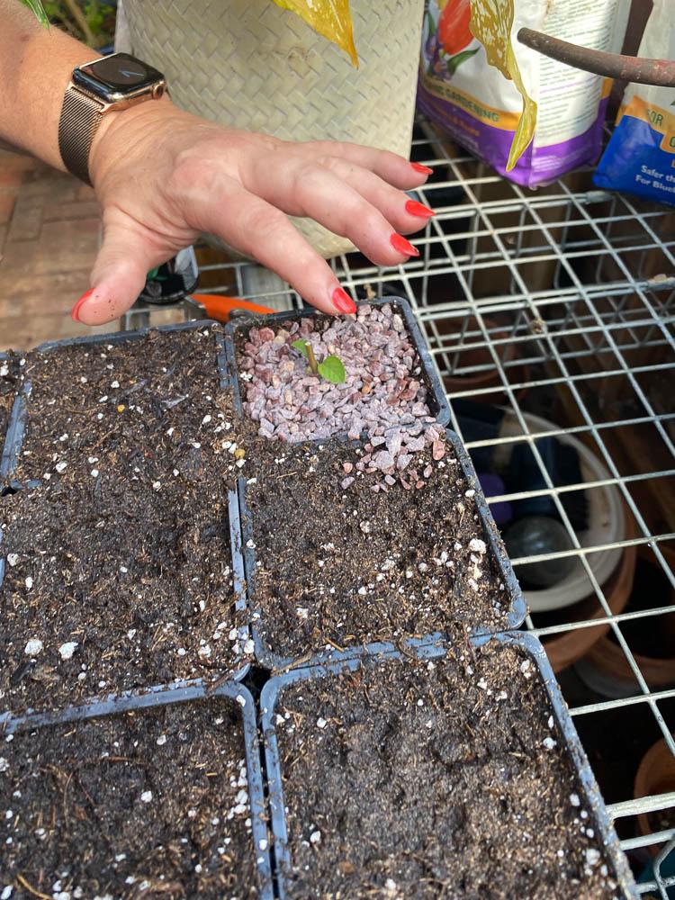 Place chicken grit around each seedling.