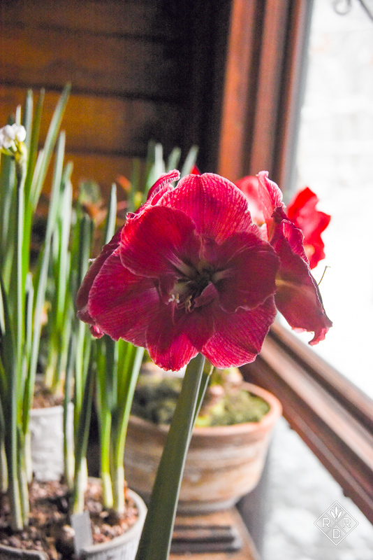 Hippeastrum Magical Touch amaryllis
