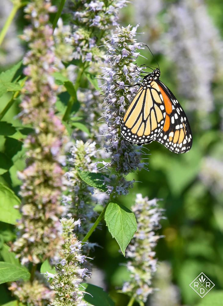 Female Monarch on Agastache 'Blue Fortune'