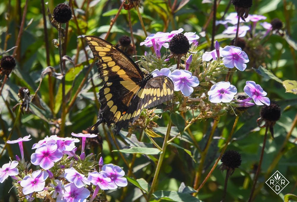 Giant Swallowtail on Bright Eyes Phlox paniculata, tall garden phlox.