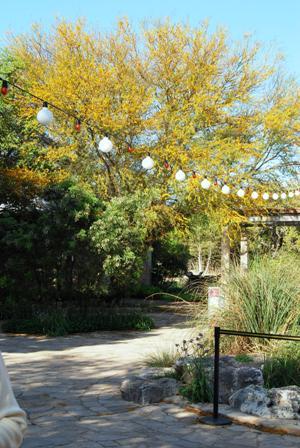 Huisache Tree in Lady Bird Wildflower Center