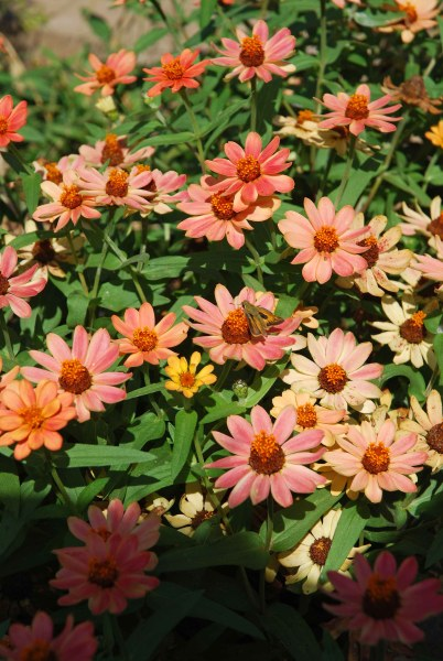 'Profusion Apricot' zinnias that now reseed in the garden every year.