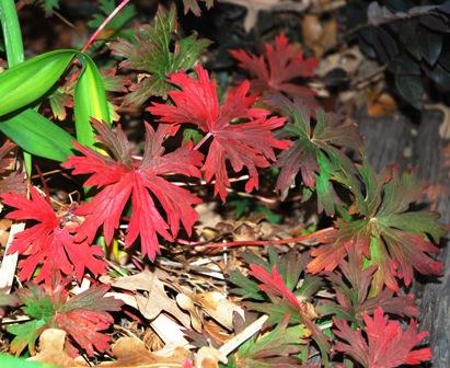 Autumnal Geranium 'Brookside' leaves