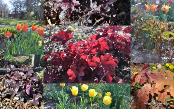 From left to right: Tulipa 'Temple's Favourite,' Heuchera 'Mahagony,'