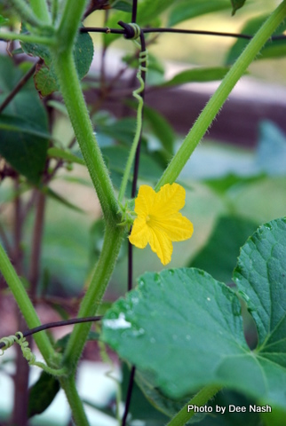 Cucumber blossoms lead to . . .