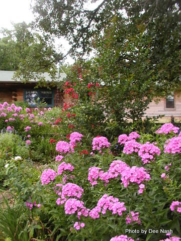 Heirloom pink Phlox paniculata with a 'Dynamite' crapemyrtle