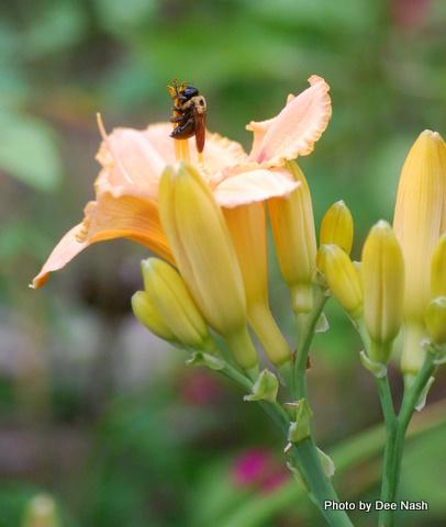 Hemerocallis 'Peach Treat' with bumblebee at rest