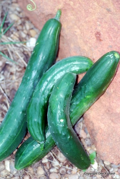 Cucumbers are the only crop I can grow this year.