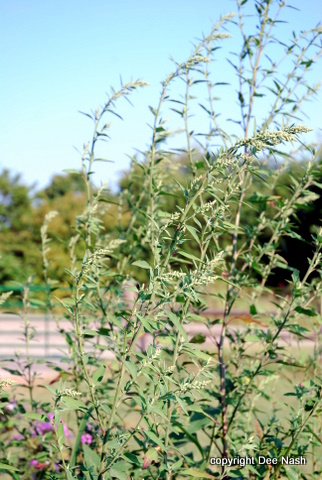 Even with the blue sky behind it, giant ragweed is ugly and a nuisance