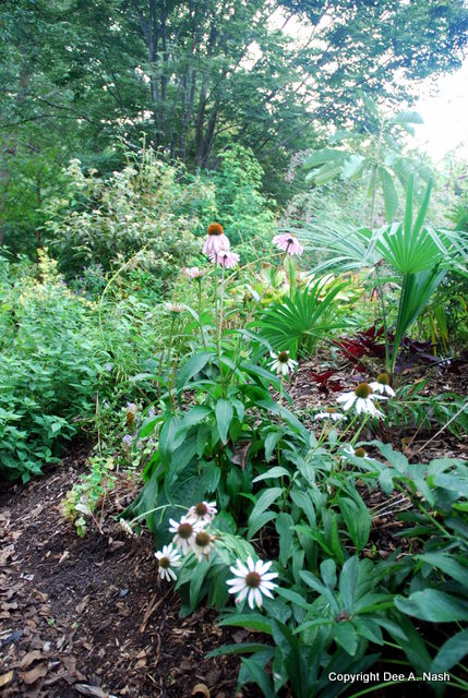 Echinacea and other perennials planted at Plant Delights Nursery give customers an idea of how plants perform.