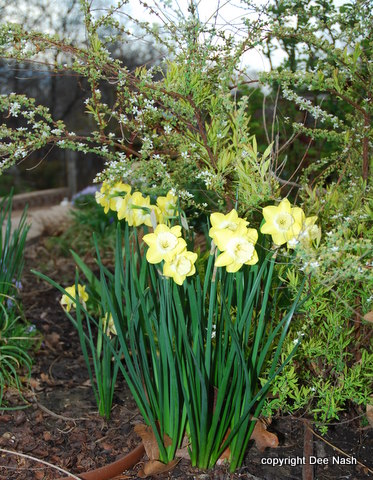 Unknown Narcissus with 'Ogon' Spirea behind