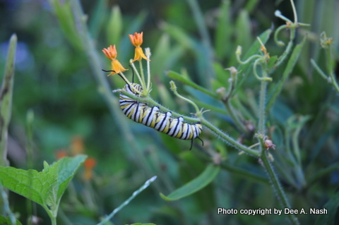 Monarch caterpillar on butterfly weed